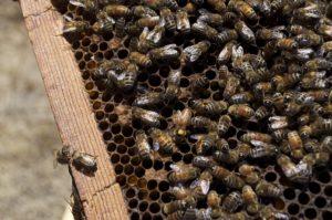 bierne