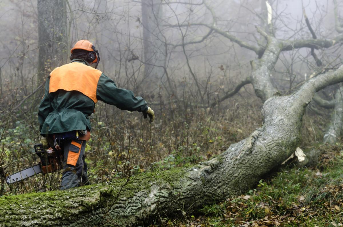 Træfældning / Fældning af træer